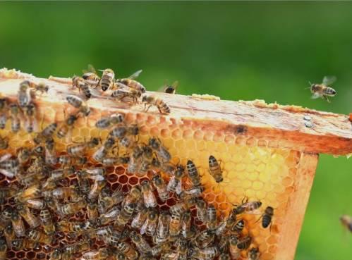 L'apithérapie autour du monde - Évaluer l'importance de la médecine des abeilles en ligne |